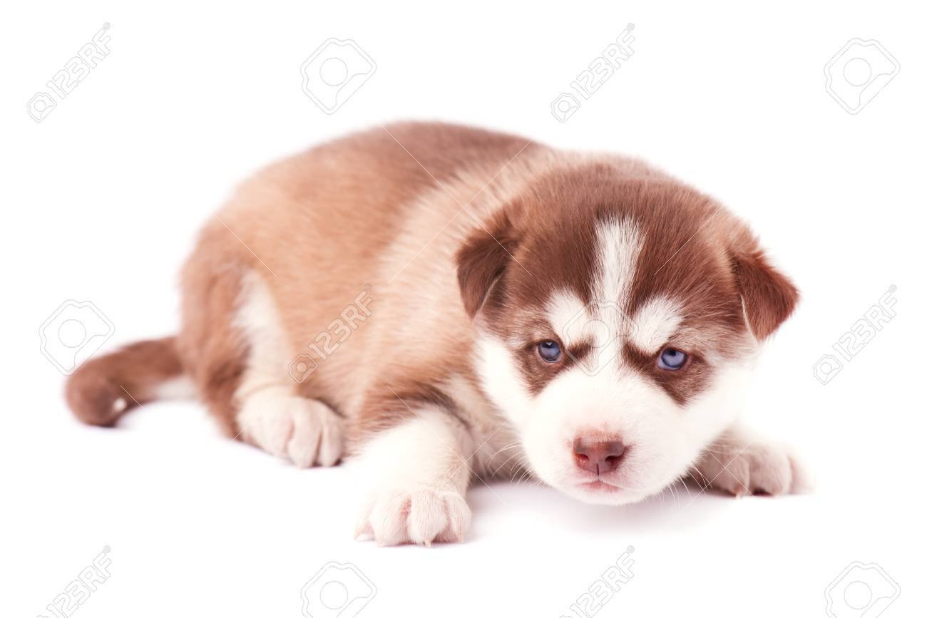 Brown husky puppy with blue eyes, isolated on white background