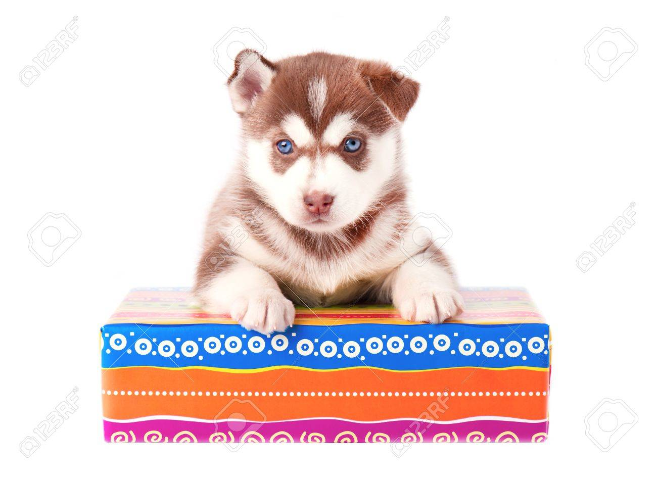Small Puppy Siberian Husky Red Color On A Colored Gift Box Isolated