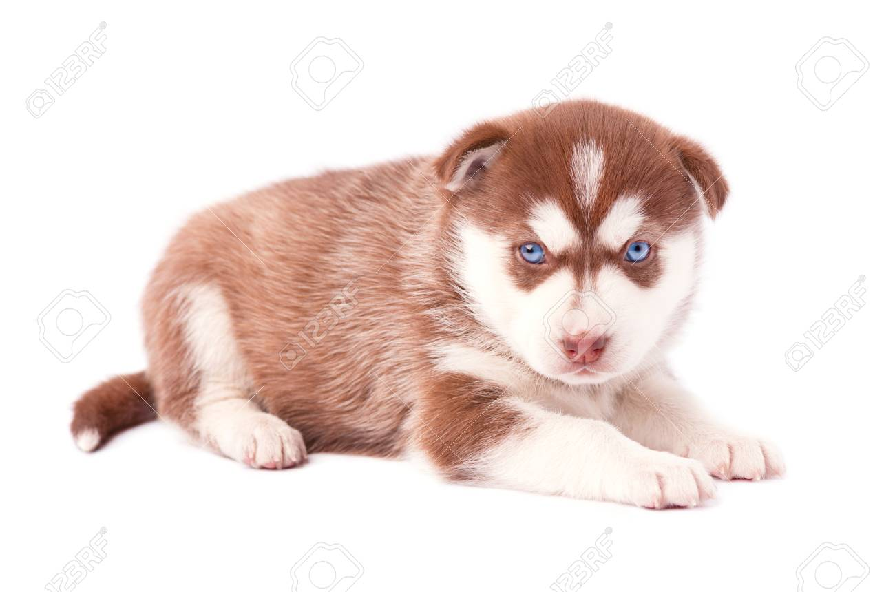 Brown Husky Puppy With Blue Eyes Isolated On White Background Stock Photo Picture And Royalty Free Image Image 70777241