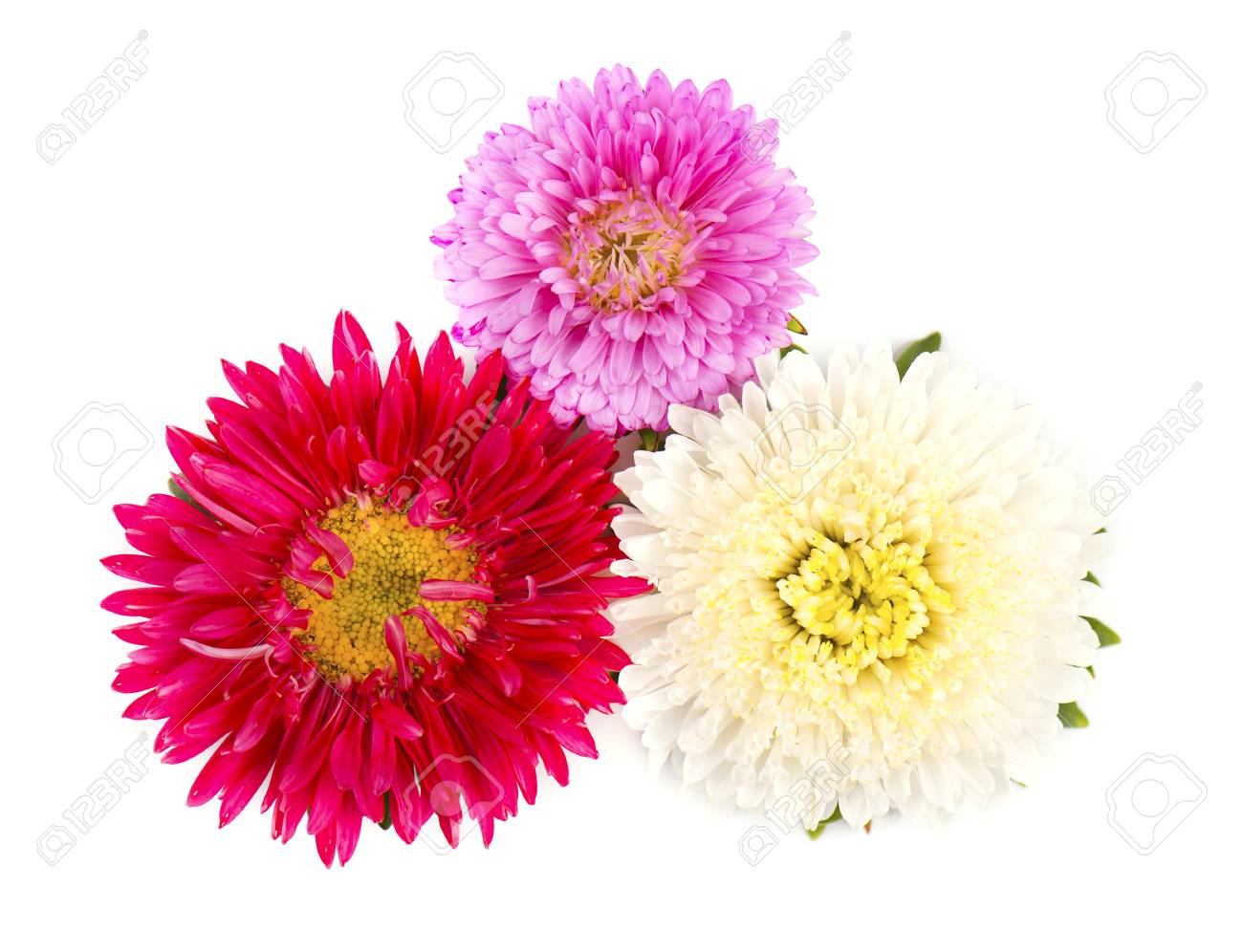 Bouquet Of Colorful Asters Flowers Over White Background. Close-up ...