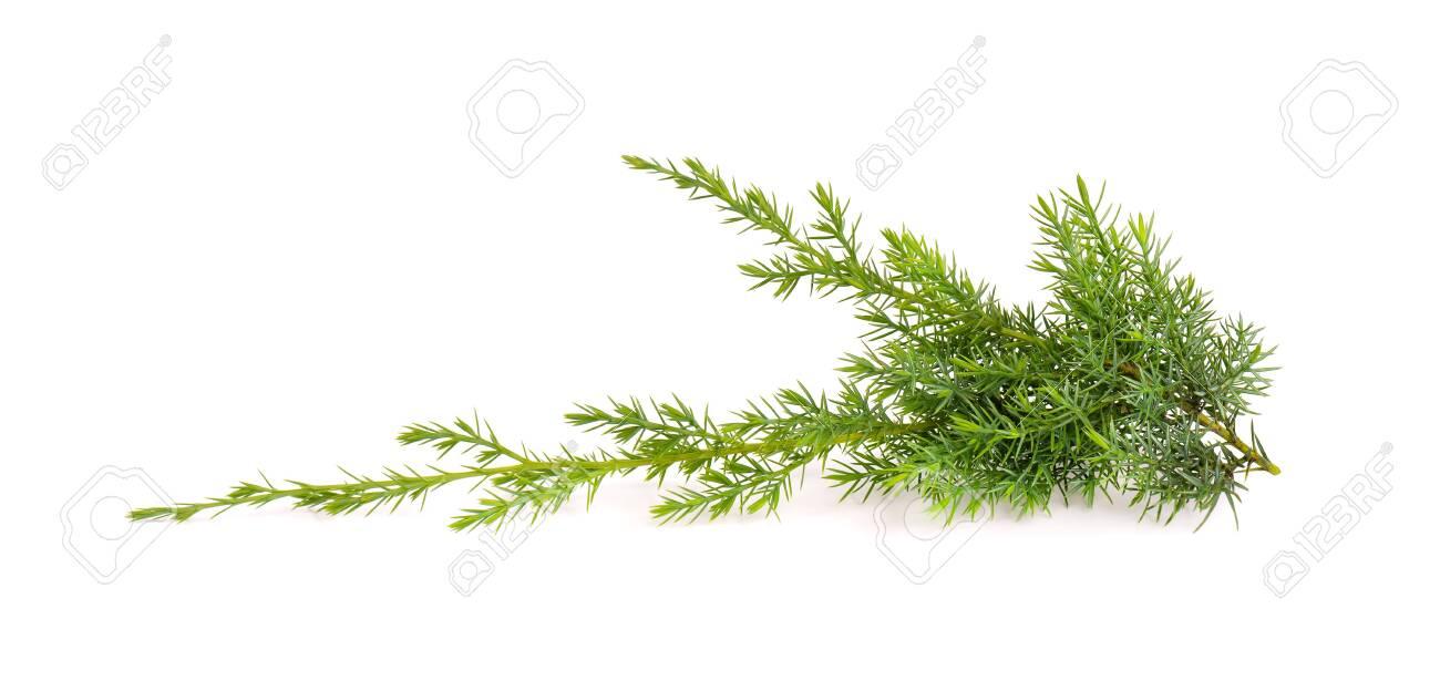Juniper twig isolated on white background. Ornamental plants for landscape design - 152765422
