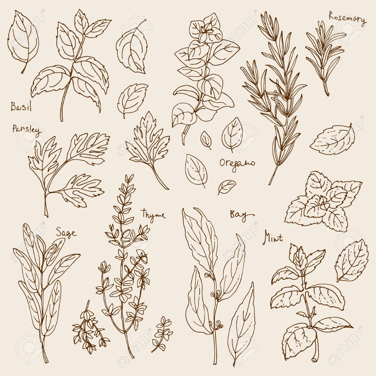 Herbs. Spices. Italian herb drawn black lines on a white background. Vector illustration. Basil, Parsley, Rosemary, Sage, Bay, Thyme, Oregano, Mint - 54521545