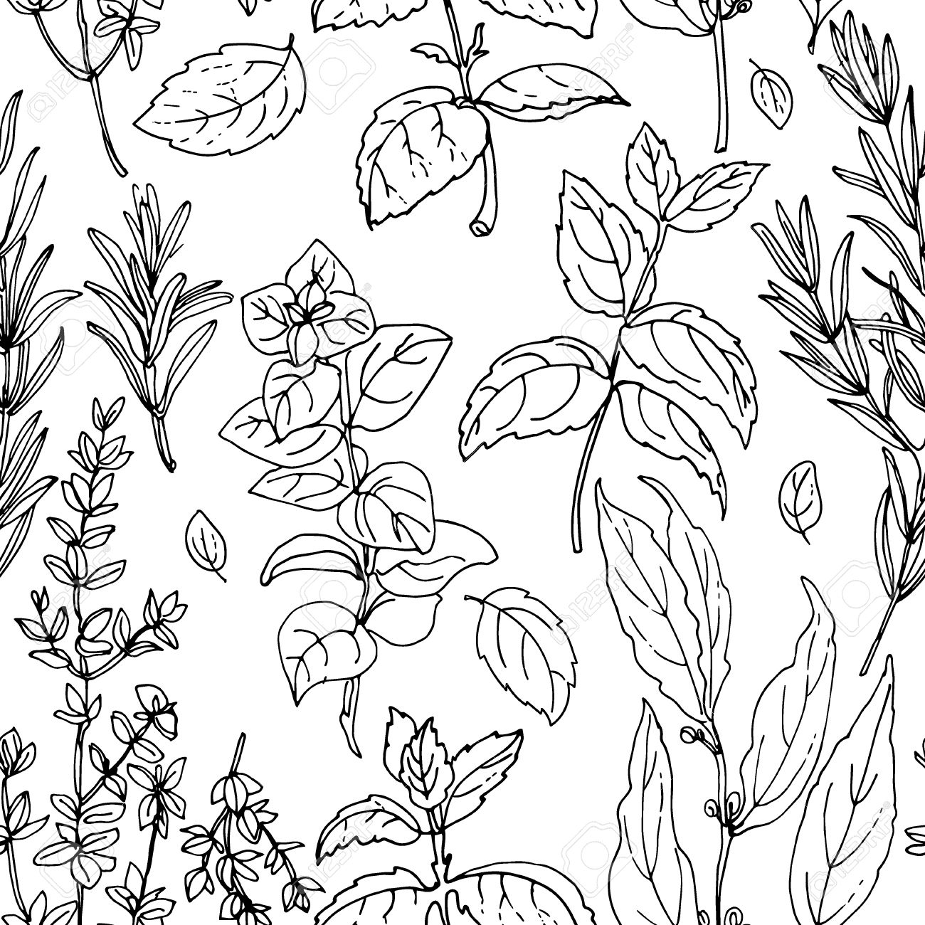Pattern herbs. Spices. Italian herb drawn black lines on a white background. Vector illustration. Basil, Parsley, Rosemary, Sage, Bay, Thyme, Oregano, Mint - 54521548