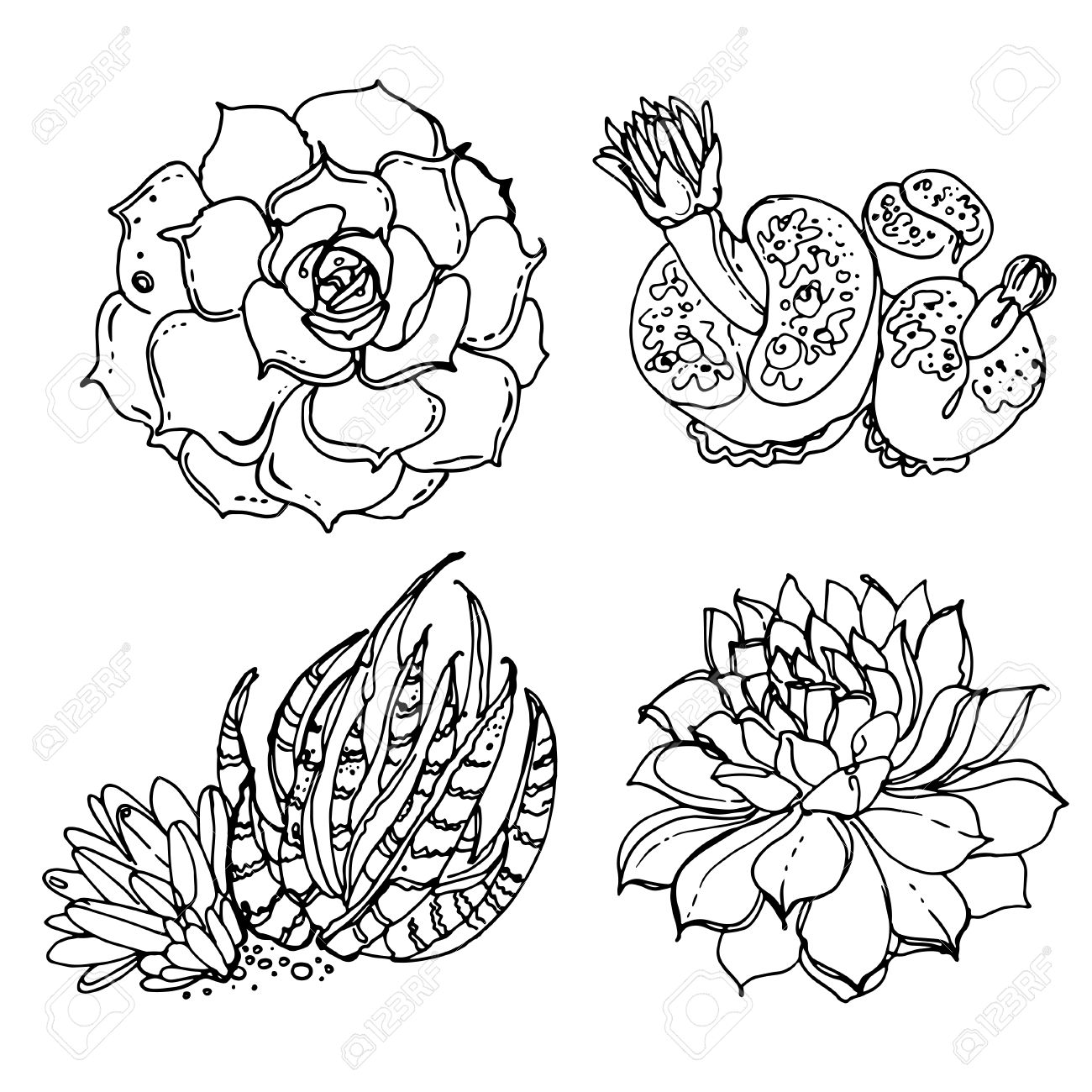 Cacti And Succulents Painted A White Line On A White Background Royalty Free Cliparts Vectors And Stock Illustration Image 66667991