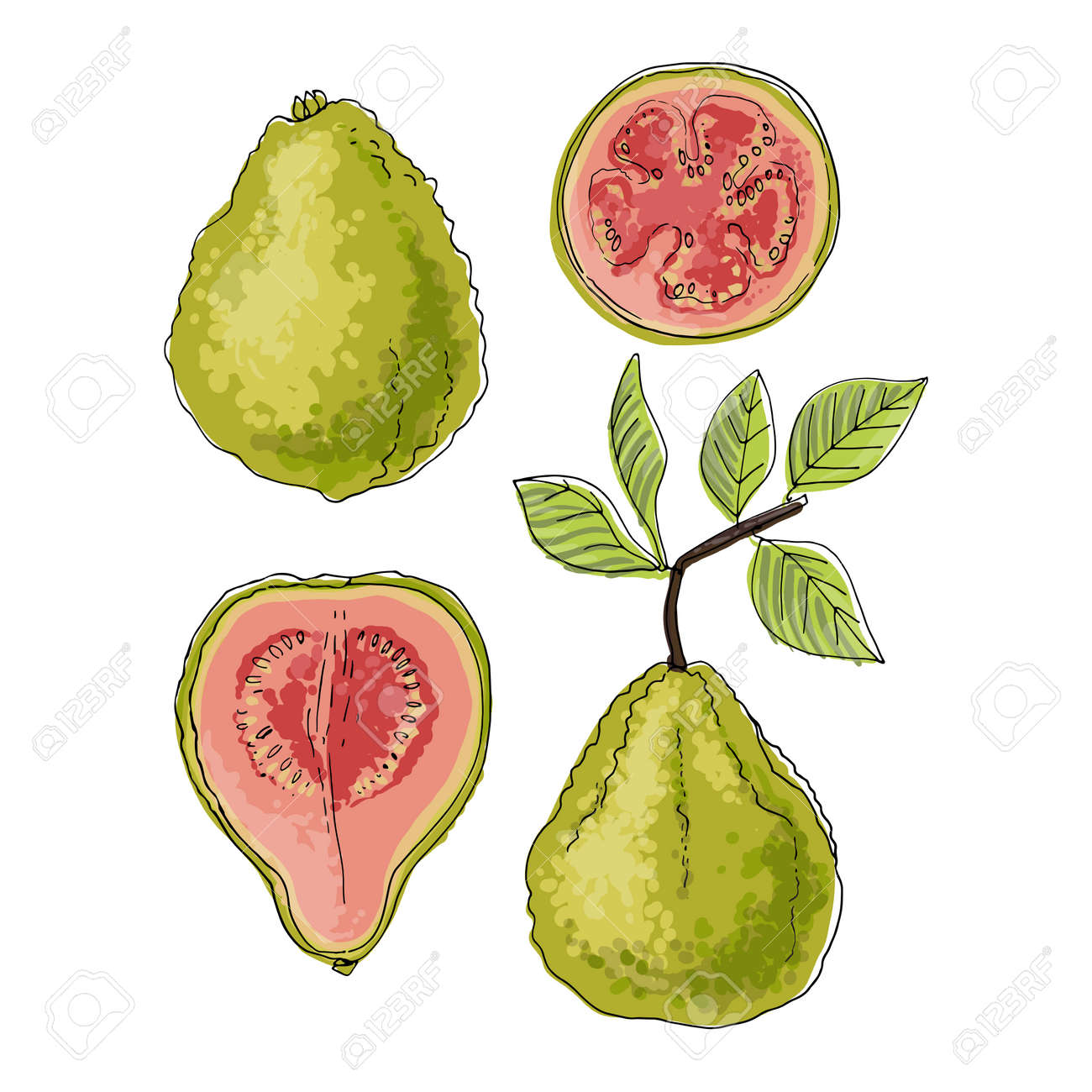Psidium, Guava fruit Vector food icons of fruits. Colored sketch of food products. - 170892770