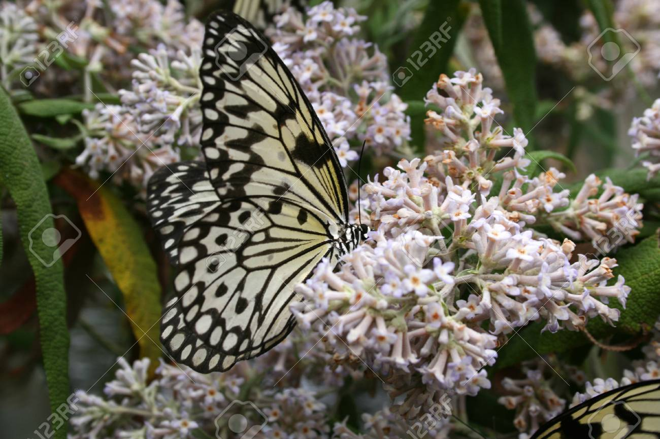 f5496e4ab Black & Yellow butterfly on purple flowers with its wings half closed Stock  Photo - 1638911
