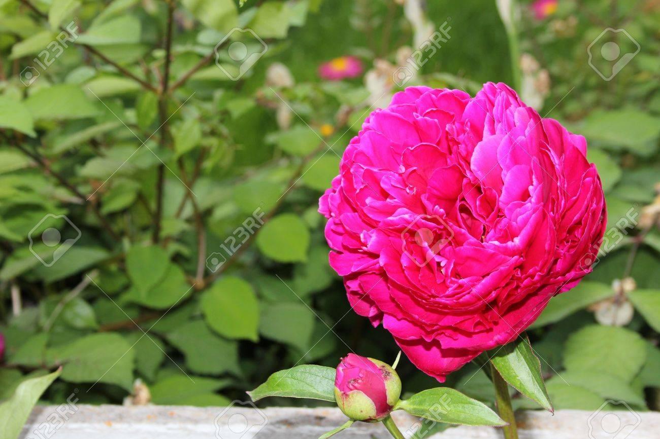 Large pink flower against rose bush background stock photo picture large pink flower against rose bush background stock photo 9994375 mightylinksfo