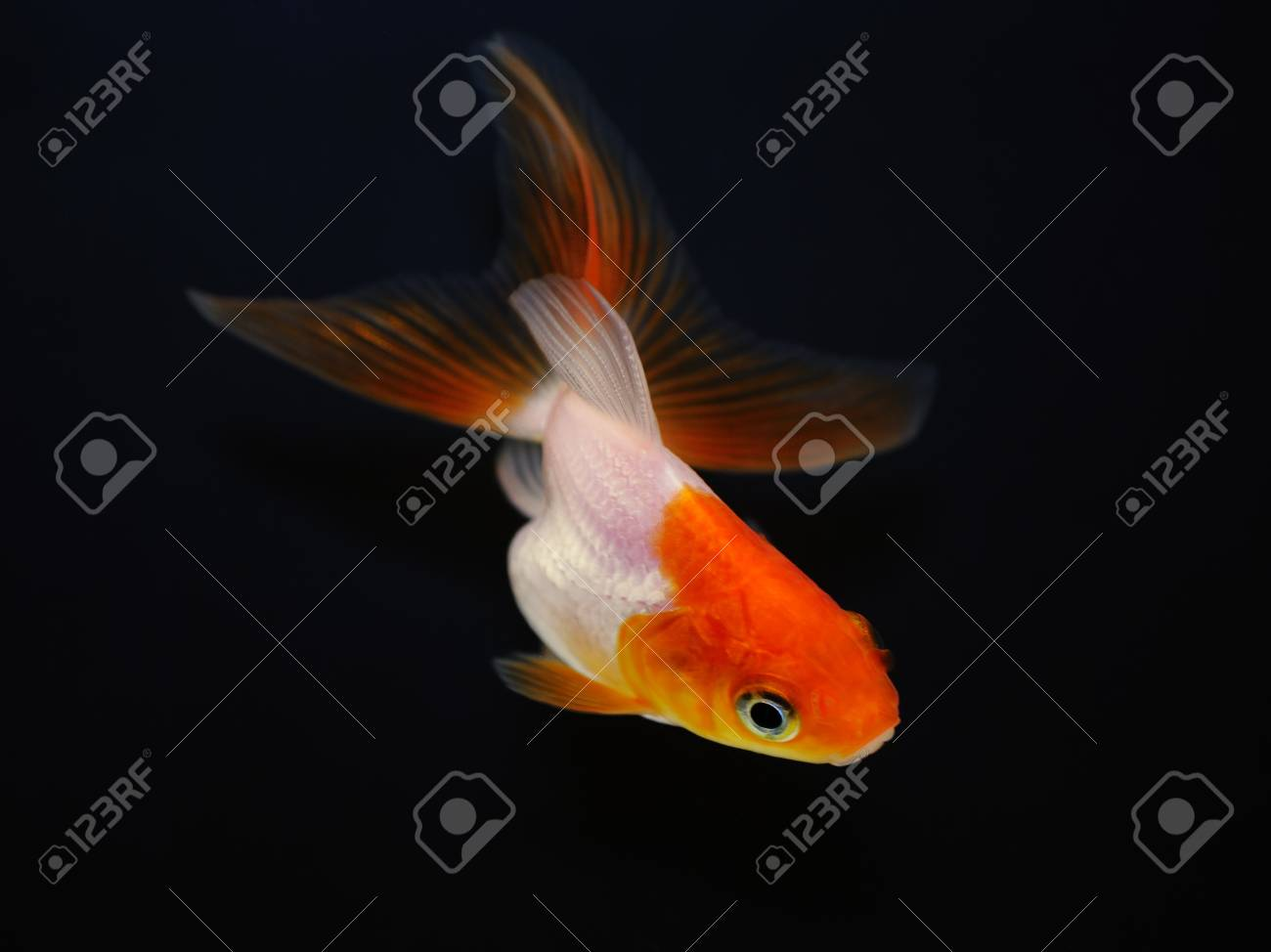 Goldfish on black background Stock Photo - 14675373