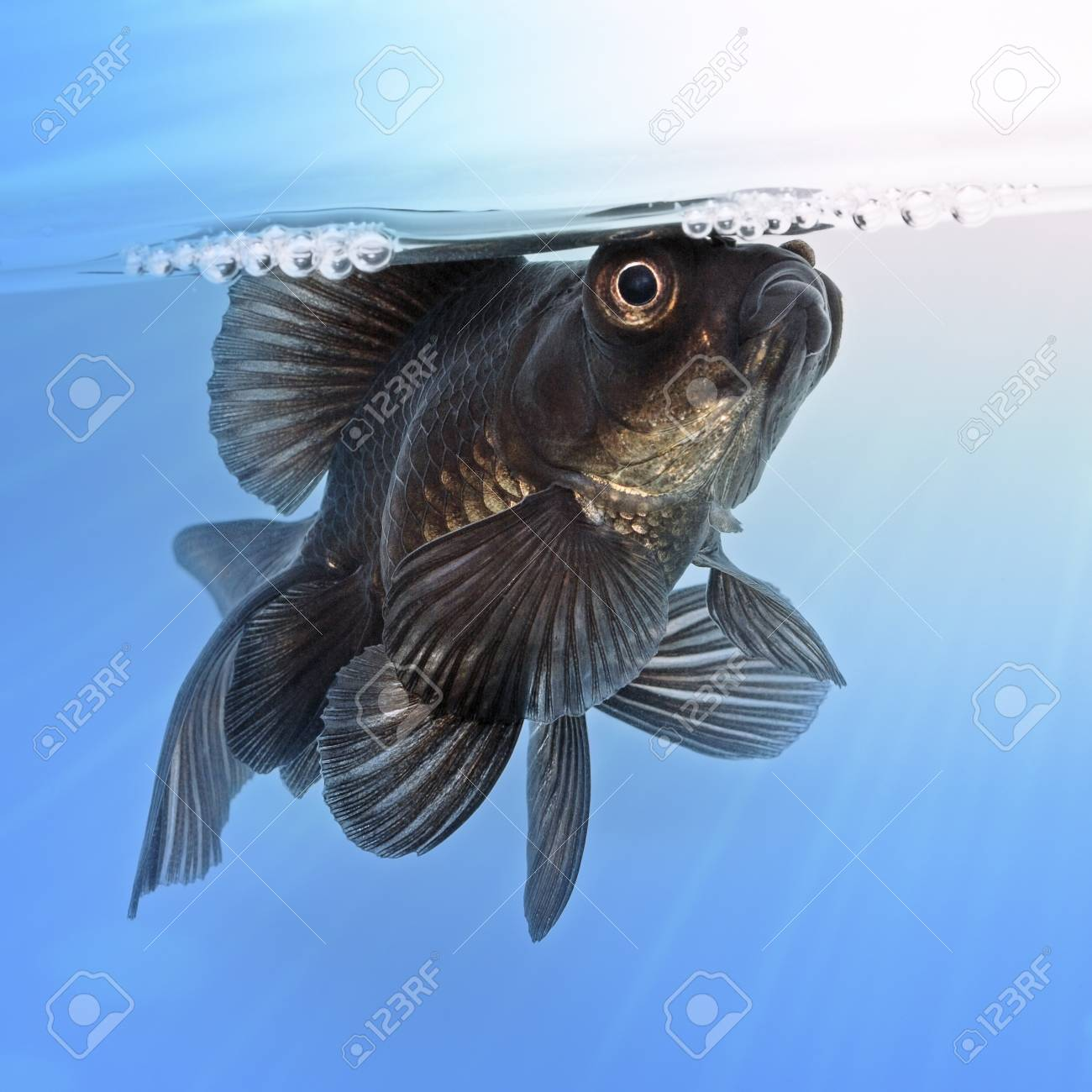Black goldfish in the water Stock Photo - 20163196