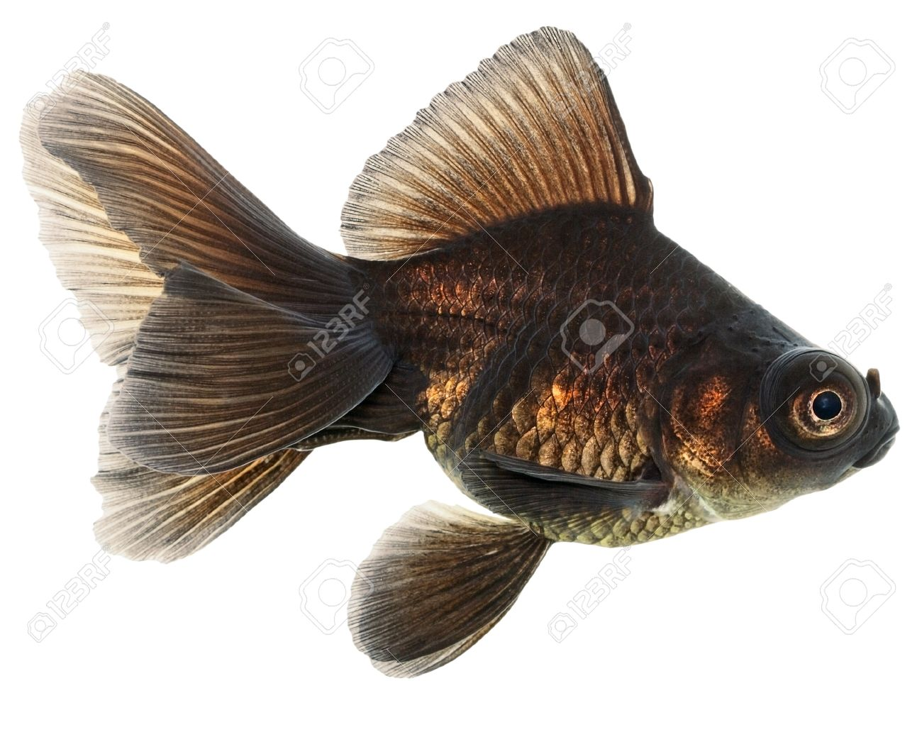 Brown Goldfish Isolated on White Background Without Shadow Stock Photo - 20163188