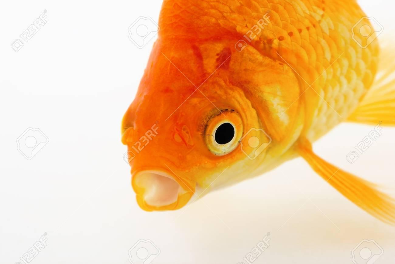 Goldfish on White Stock Photo - 24183200