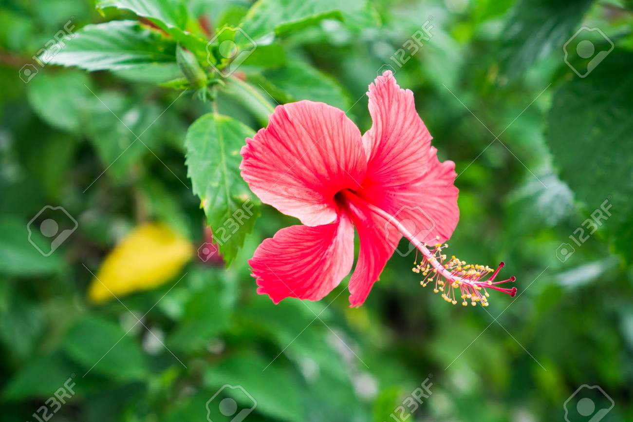 Red chinese rose shoe flower or a flower of red hibiscus with red chinese rose shoe flower or a flower of red hibiscus with green leaves izmirmasajfo