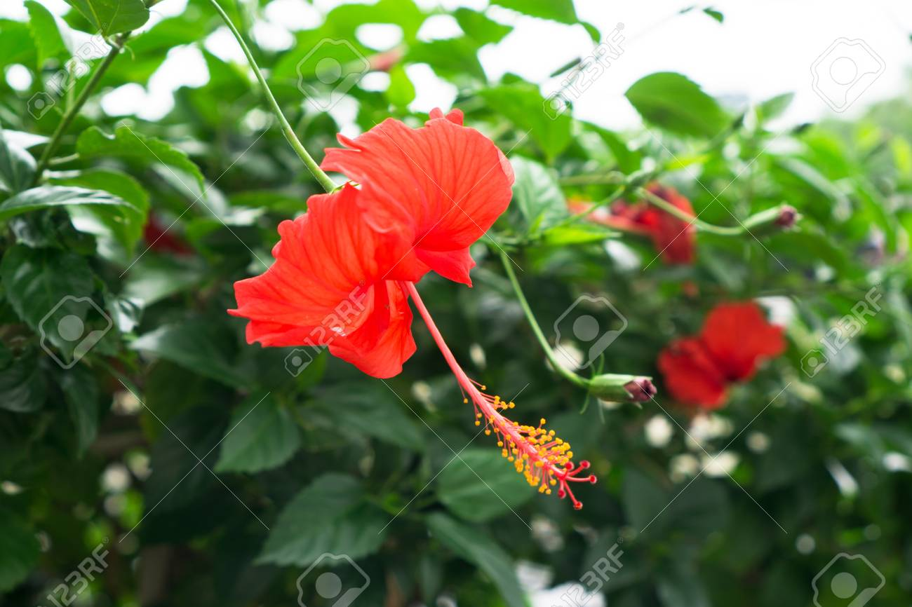 Red chinese rose shoe flower or a flower of red hibiscus with red chinese rose shoe flower or a flower of red hibiscus with green leaves izmirmasajfo Image collections