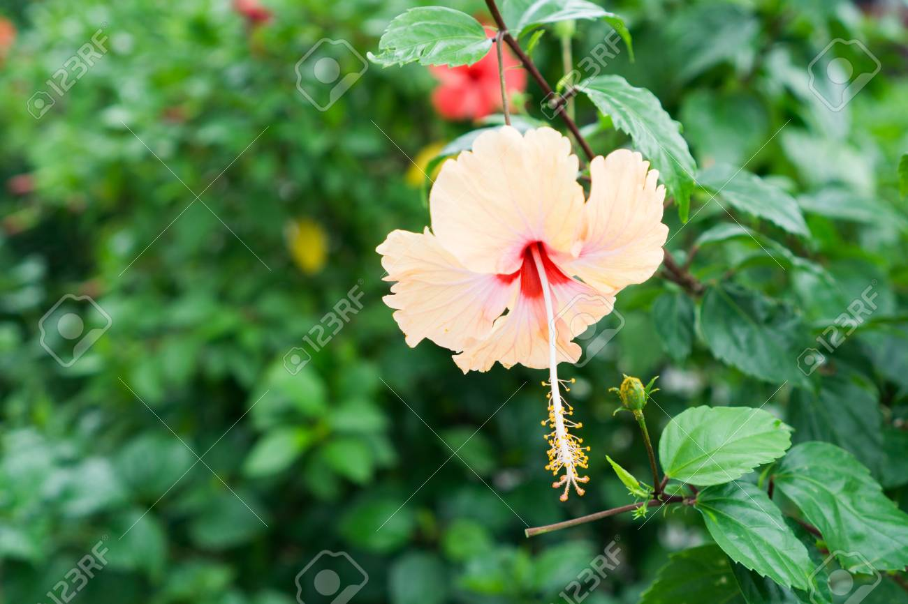 Pink chinese rose shoe flower or a flower of red hibiscus with pink chinese rose shoe flower or a flower of red hibiscus with green leaves izmirmasajfo Image collections