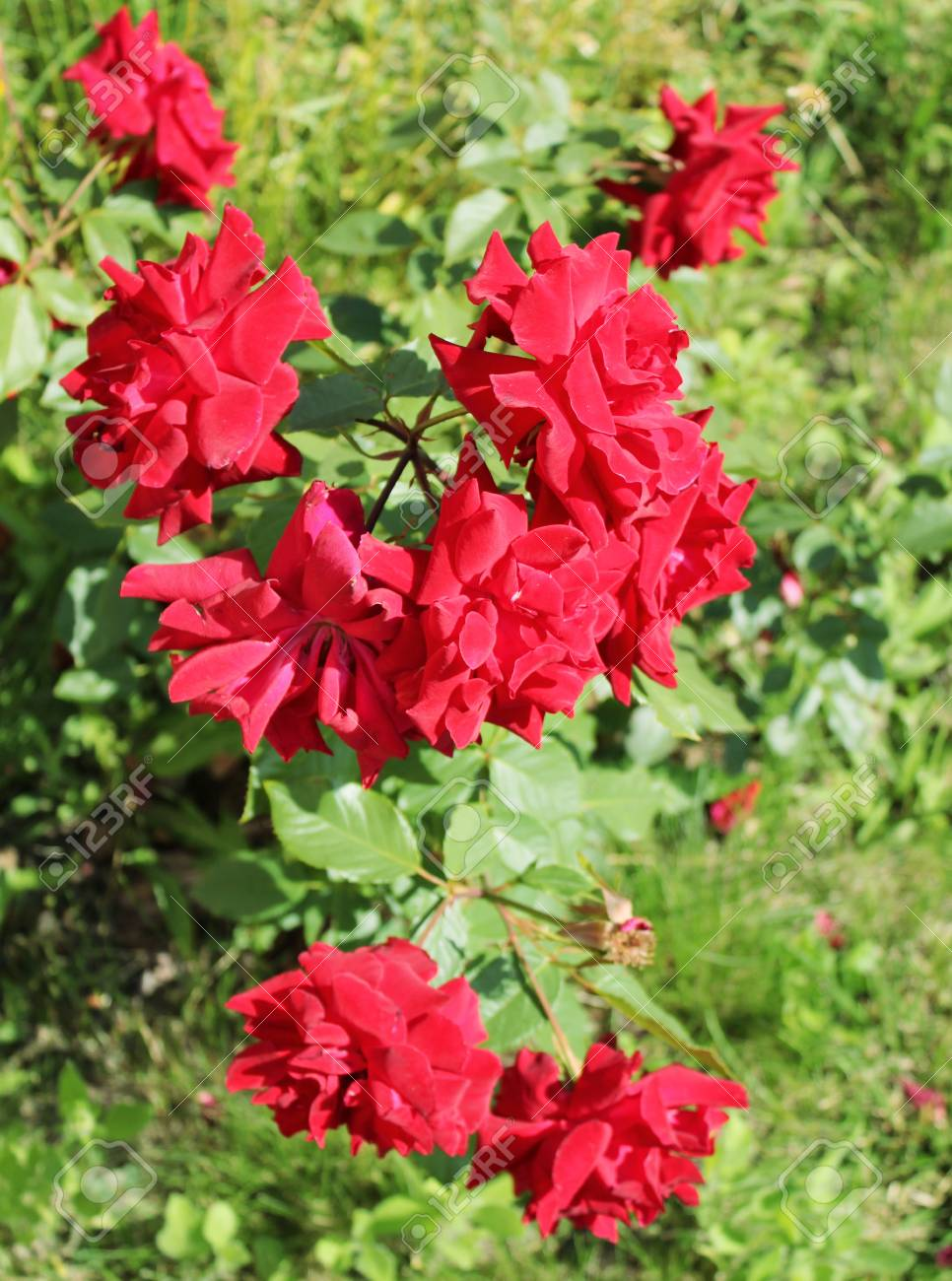 beautiful bushes of red roses Stock Photo - 17245309