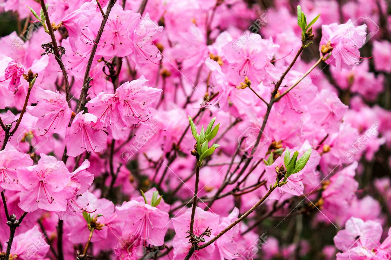 Spring Pink Azalea Flowers Stock Photo Picture And Royalty Free