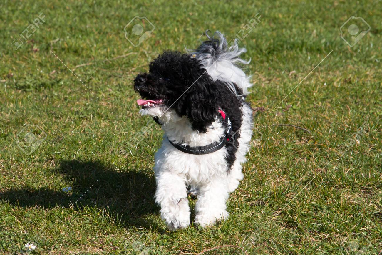 Black and White Toy Poodle playing in Meadow