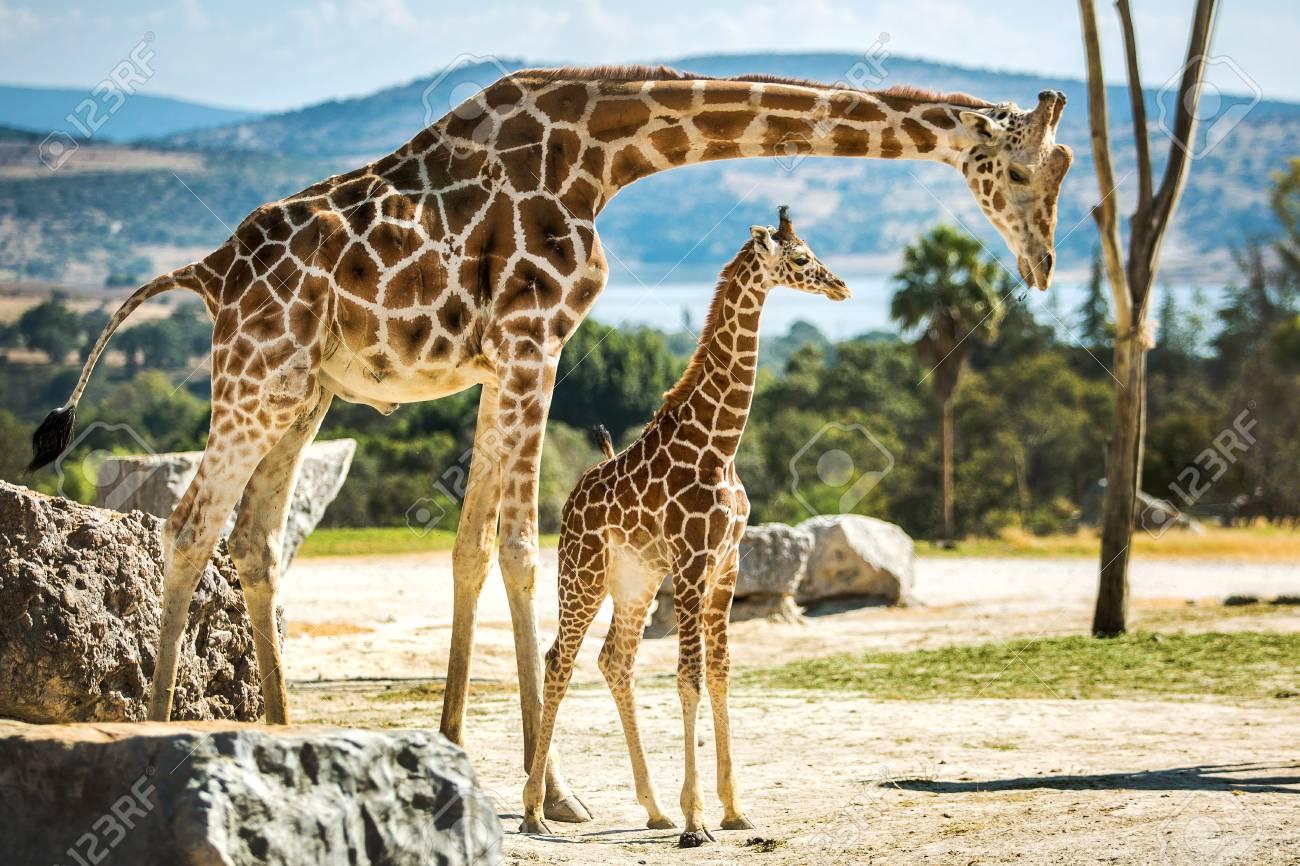 Giraffe family on a walk in the desert - 92324002