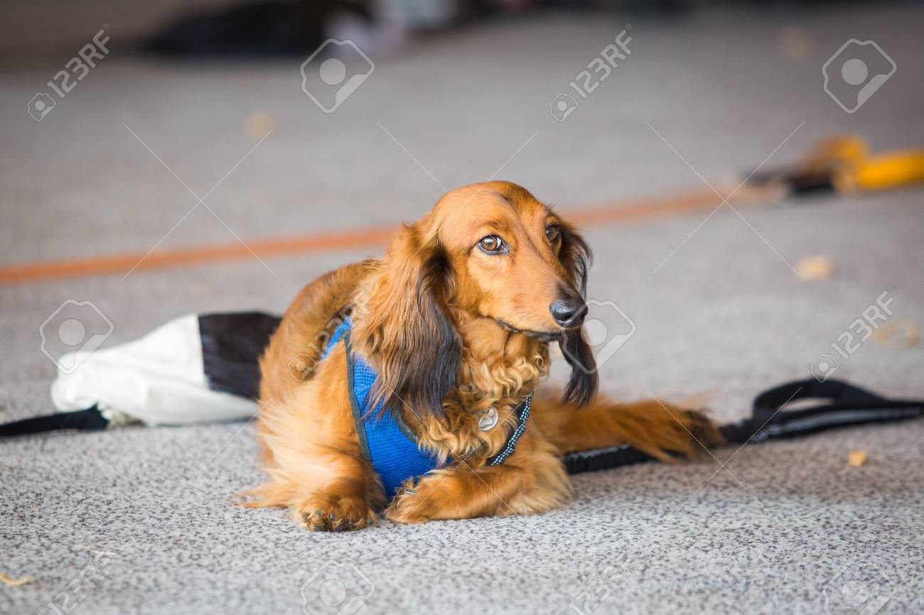 b0cbe031635 Cute dachshund brown dog laying along on the ground at day Stock Photo -  101221369