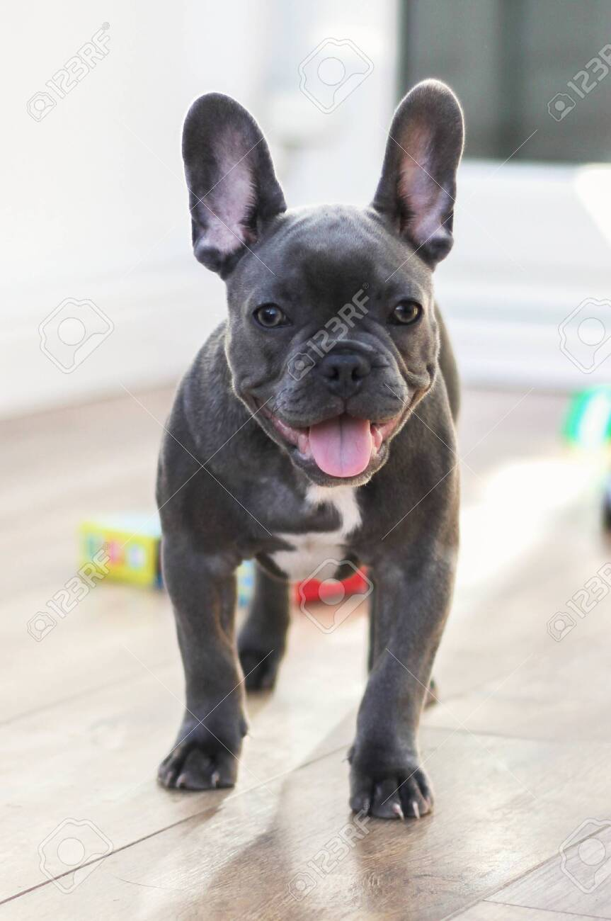 Cute French Bulldog Dog Puppy With Tongue Out Playing In Conservatory Stock Photo Picture And Royalty Free Image Image 132875761