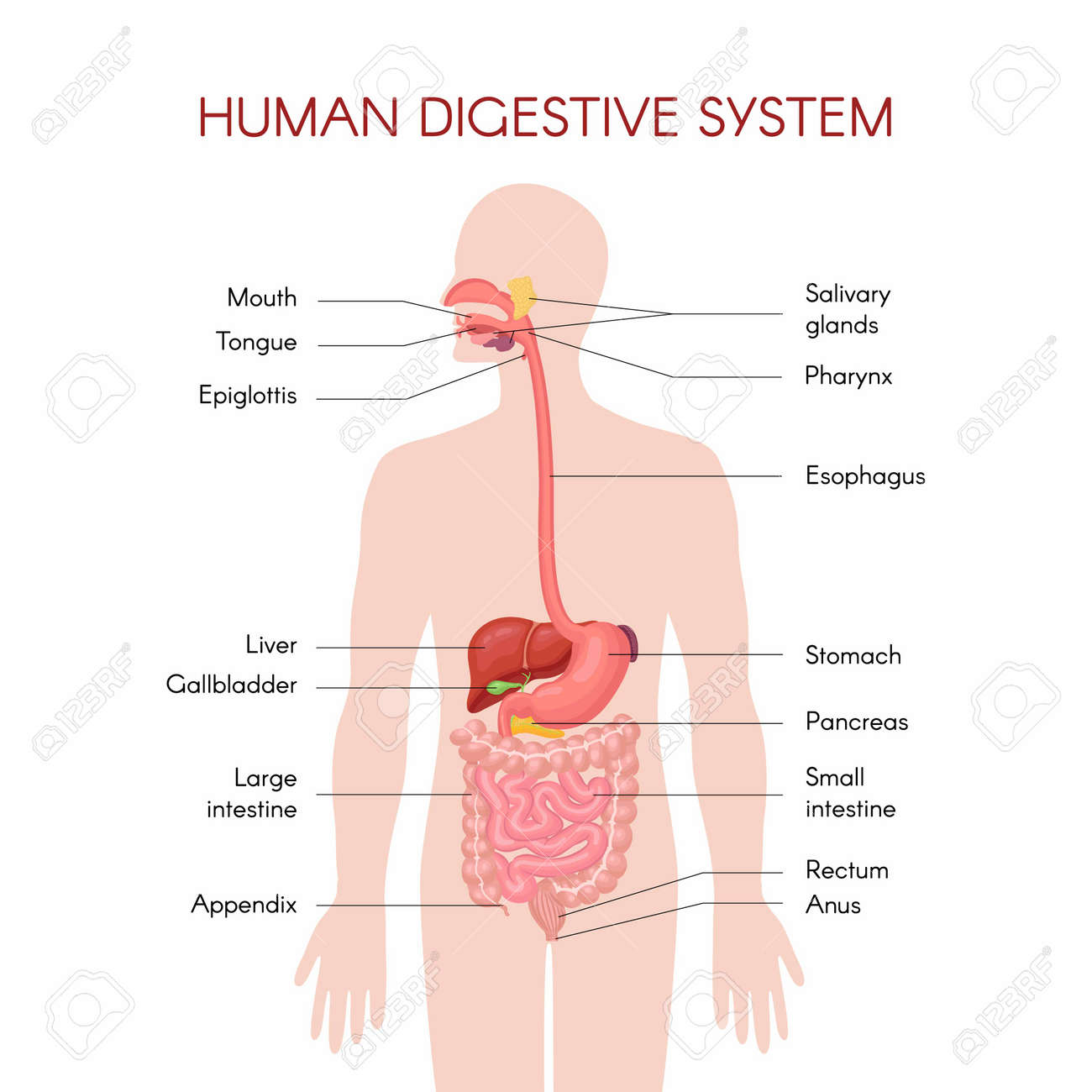 Anatomy of the human digestive organs with description of the corresponding functions internal organs. Anatomical vector illustration in flat style isolated over white background. - 169635050