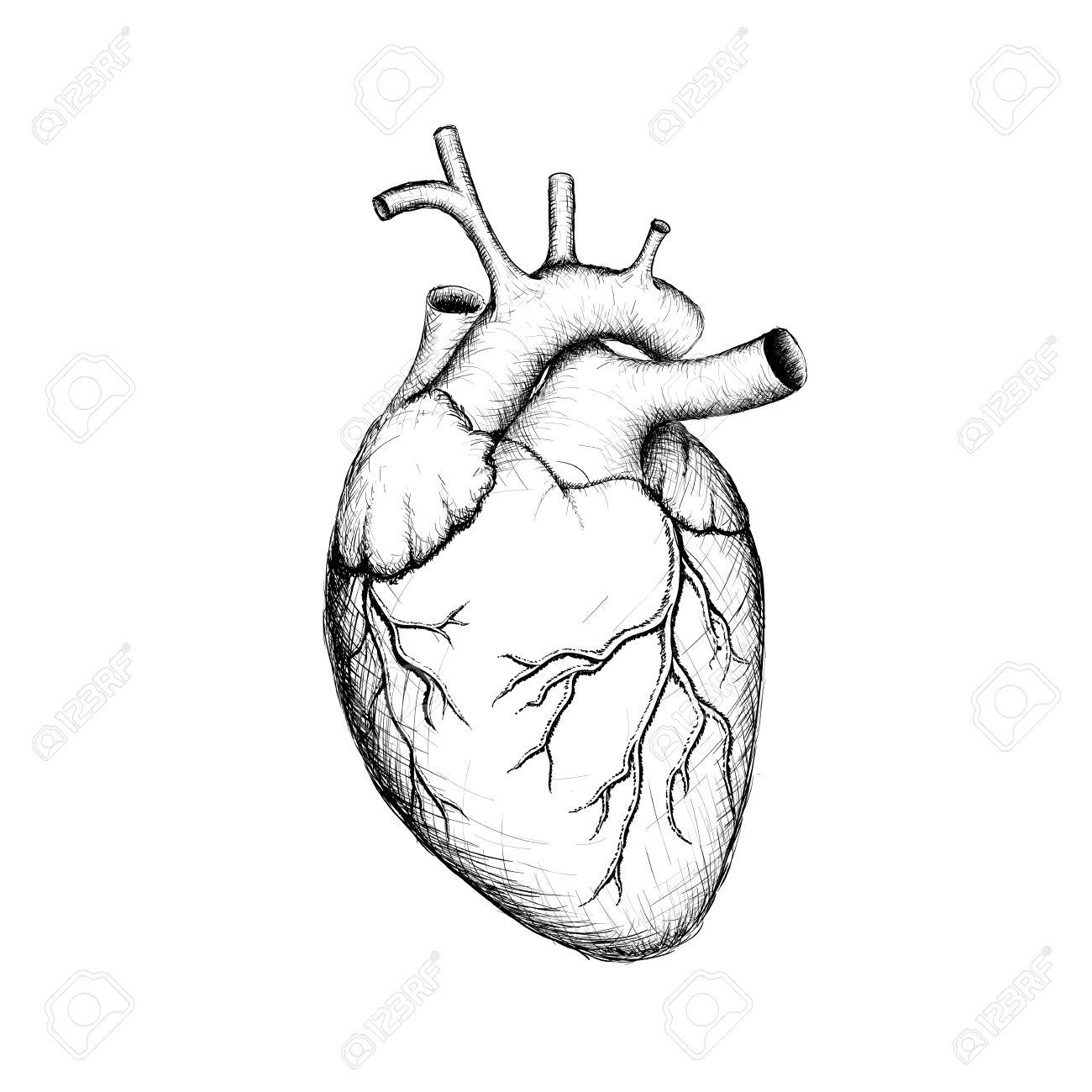 Human Heart. Internal Organs. Anatomy. Stock Vector Image. Royalty ...