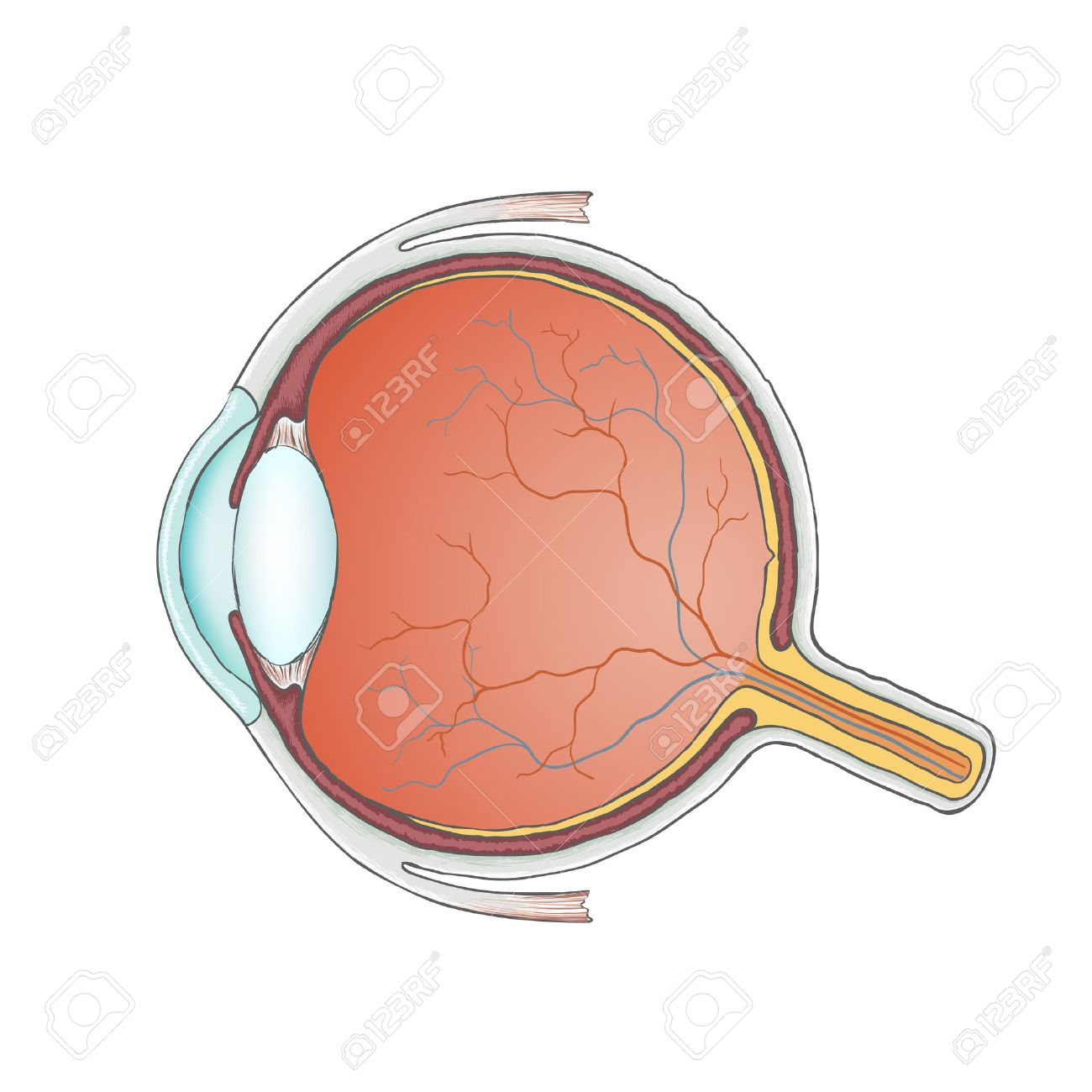 Human Eye. Anatomy. Structure Of The Eyeball. Stock Vector. Royalty ...