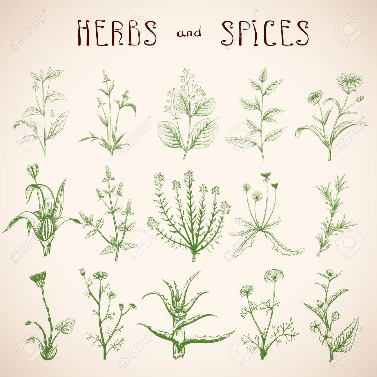 Dibujado A Mano Dibujo Plantas Medicinales. Conjunto De Hierbas Y ...