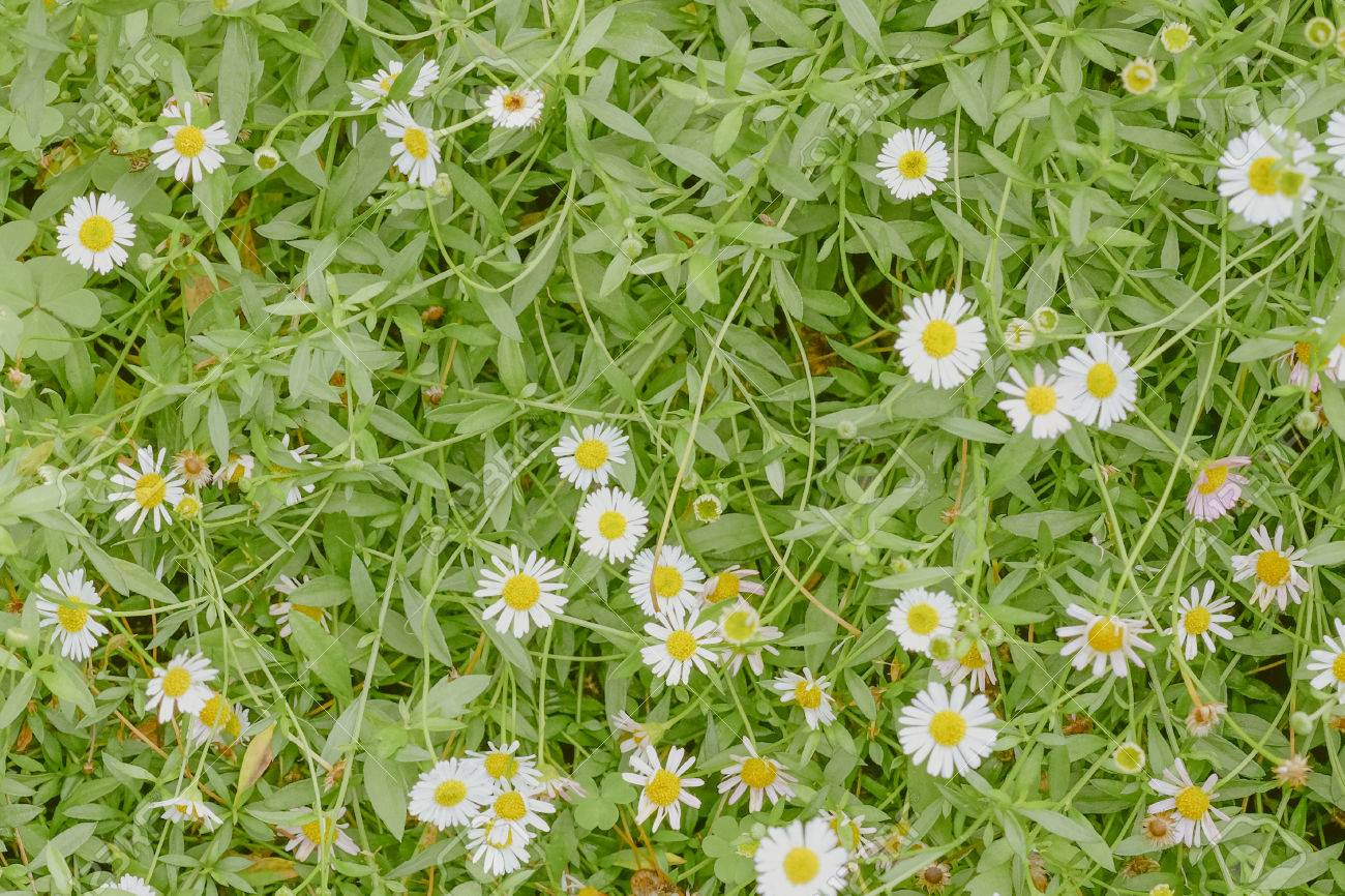 Top view of little daisy flowers on green grass background top view of little daisy flowers on green grass background 36250152 izmirmasajfo