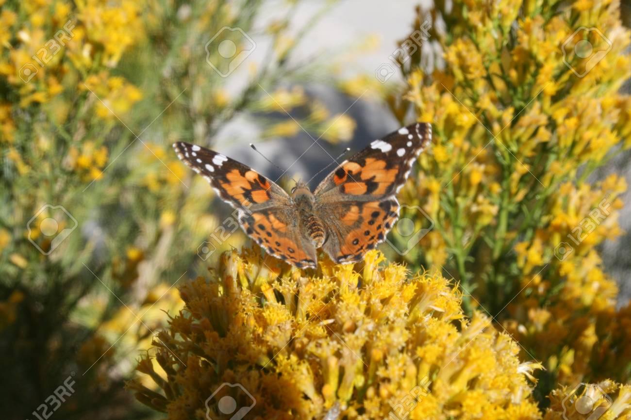 Butterfly on yellow desert flowers stock photo picture and royalty butterfly on yellow desert flowers stock photo 16128829 mightylinksfo