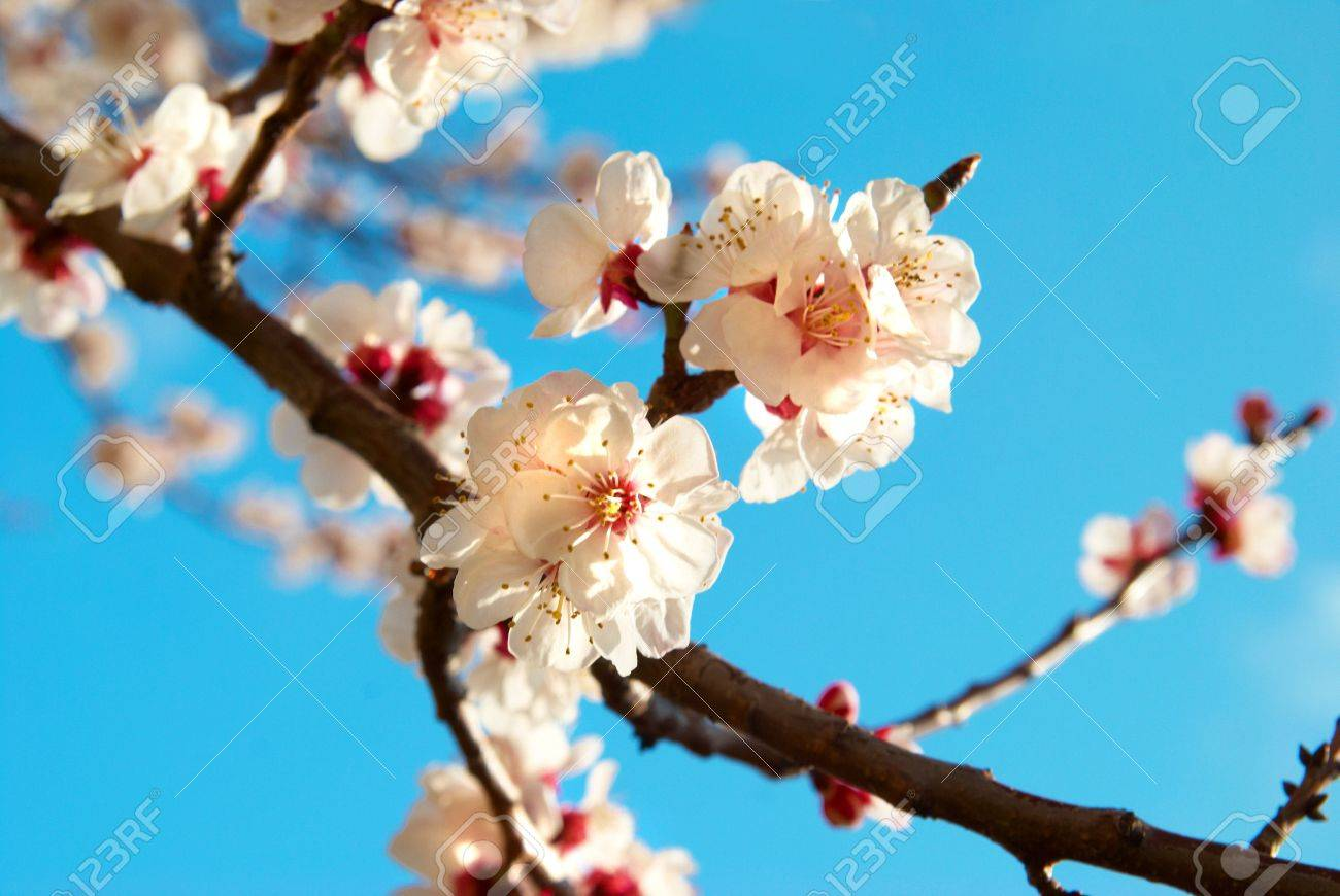 White apricot flowers with blue sky background Stock Photo - 4756965
