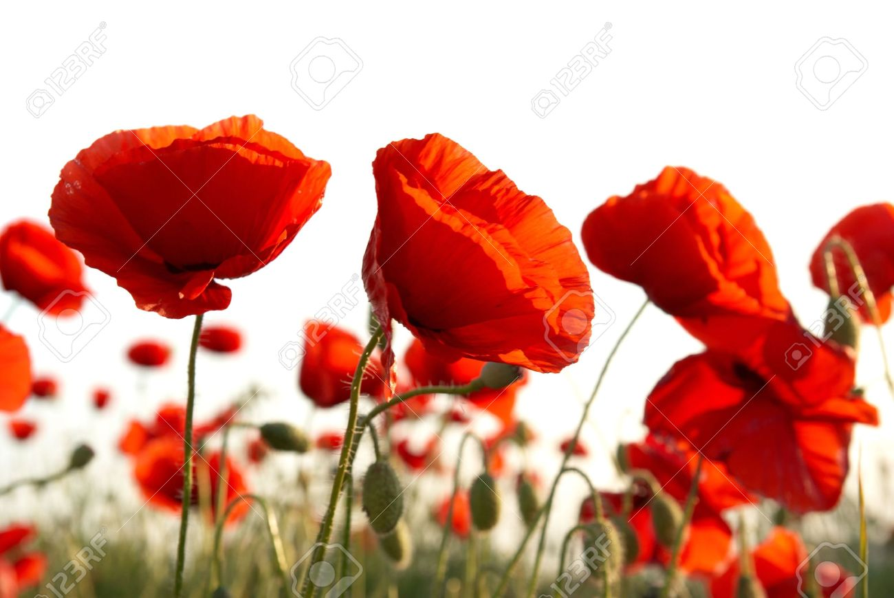 Field of beautiful red poppies isolated on white Stock Photo - 5234179