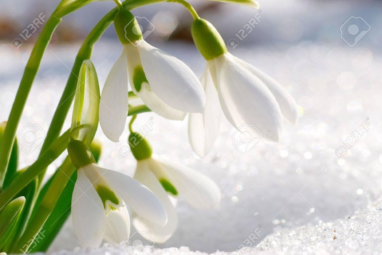 Perce Neige Fleurs De Printemps Avec De La Neige Dans La Foret