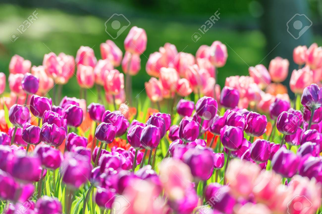 Field Of Tulips With Many Violet And Pink Flowers Stock Photo