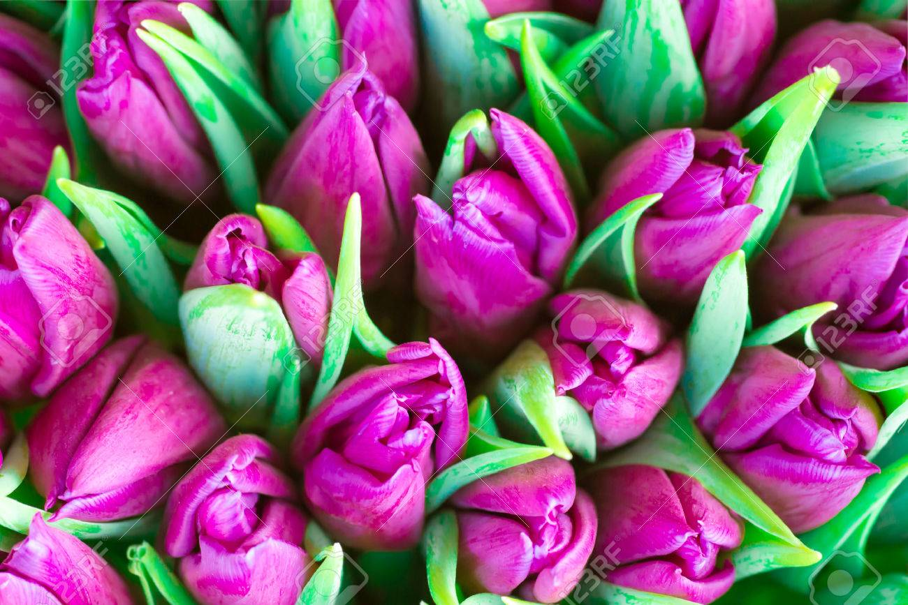 Fresh violet tulips with green leaves- nature spring background. Soft focus and bokeh - 66706699