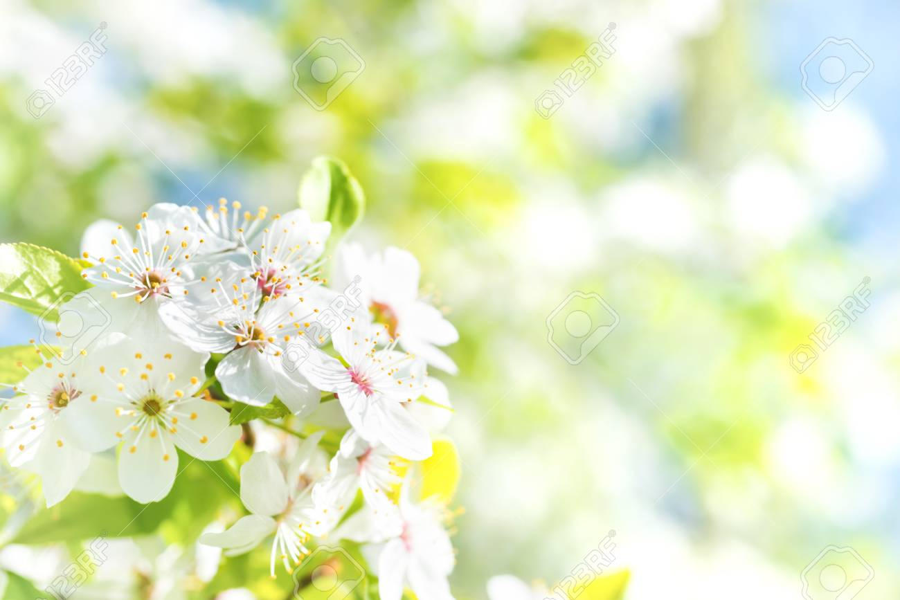 White Flowers On A Blossom Cherry Tree With Soft Background Of