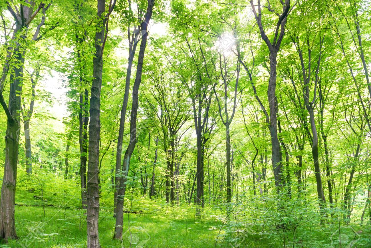 Green forest landscape with trees and sun light going through leaves - 129259976
