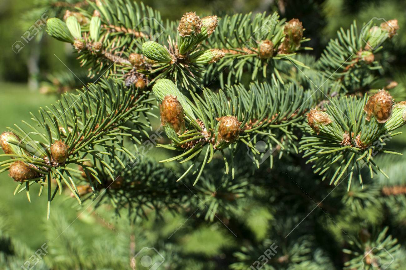 New Fresh Foliage Of Abies Concolor White Fir Closeup Stock Photo