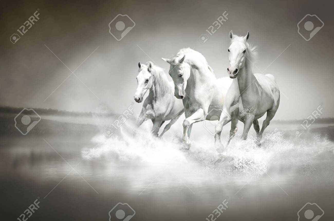 Herd of white horses running through water Stock Photo - 14857350