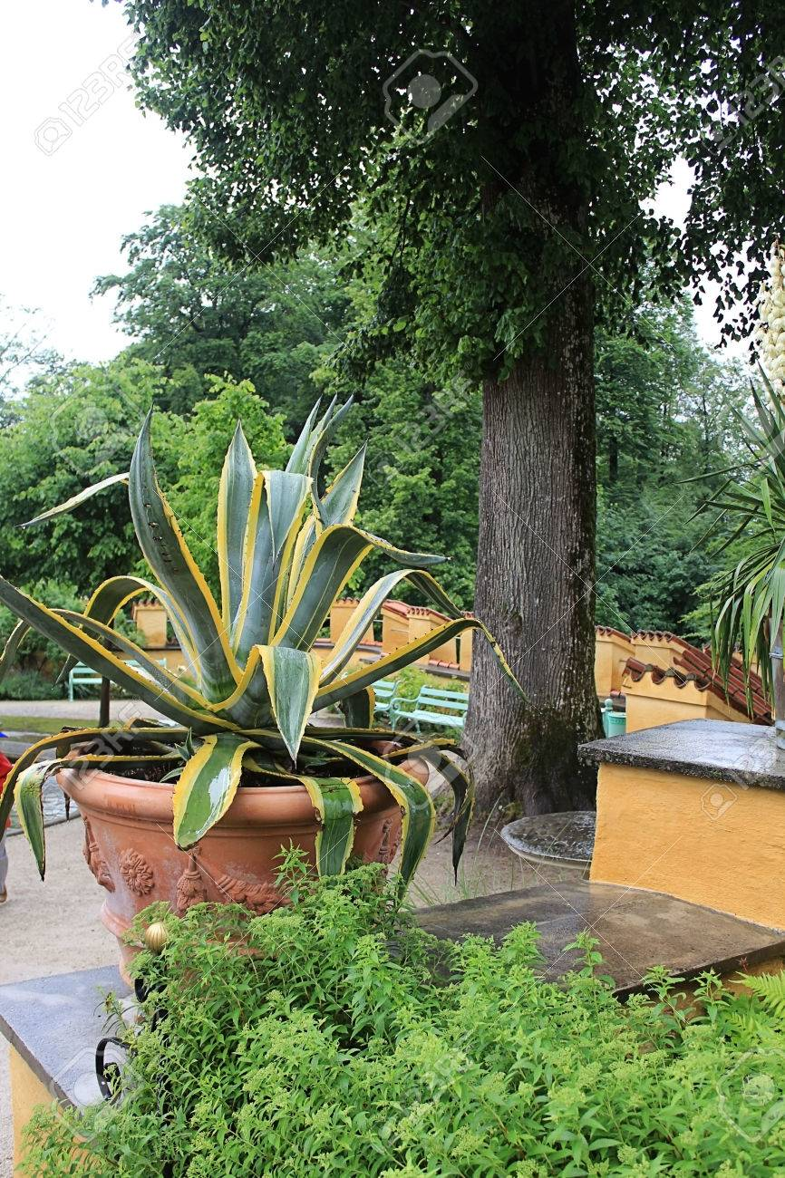 Large Agaves Growing In Pots In The Garden Stock Photo Picture