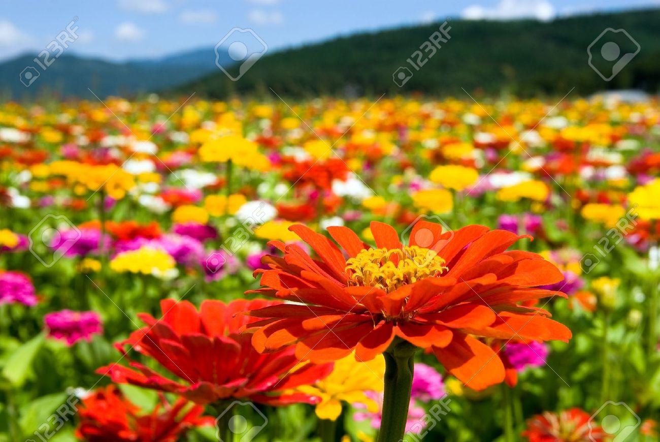 Zinnia Flowers Stock Photo - 7363001