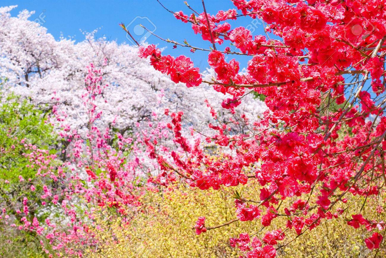 Colors Of Peach Blossoms And Spring Flowers Stock Photo, Picture And ...