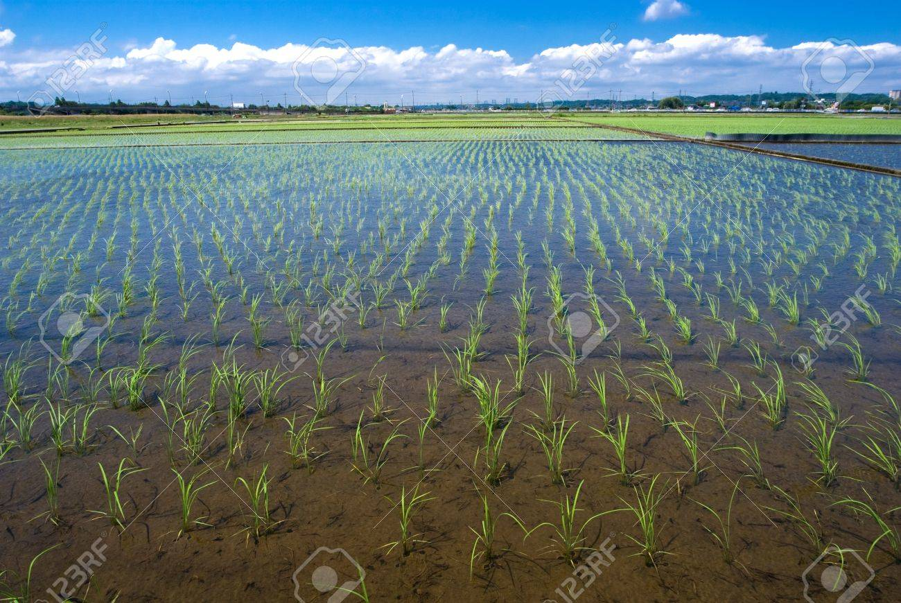 Paddy and the rice seedlings Stock Photo - 8190850