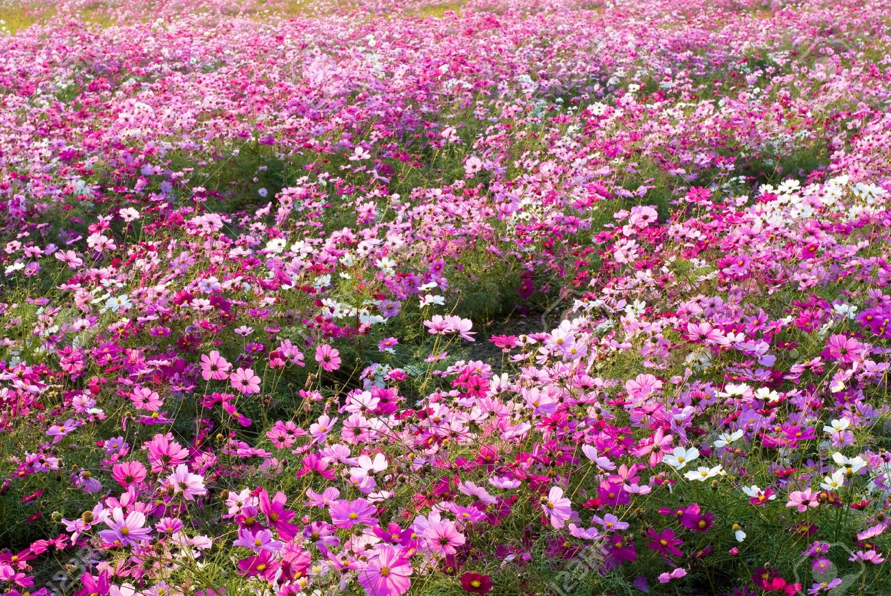 Pink Color Of Cosmos Flower Fields Stock Photo Picture And Royalty