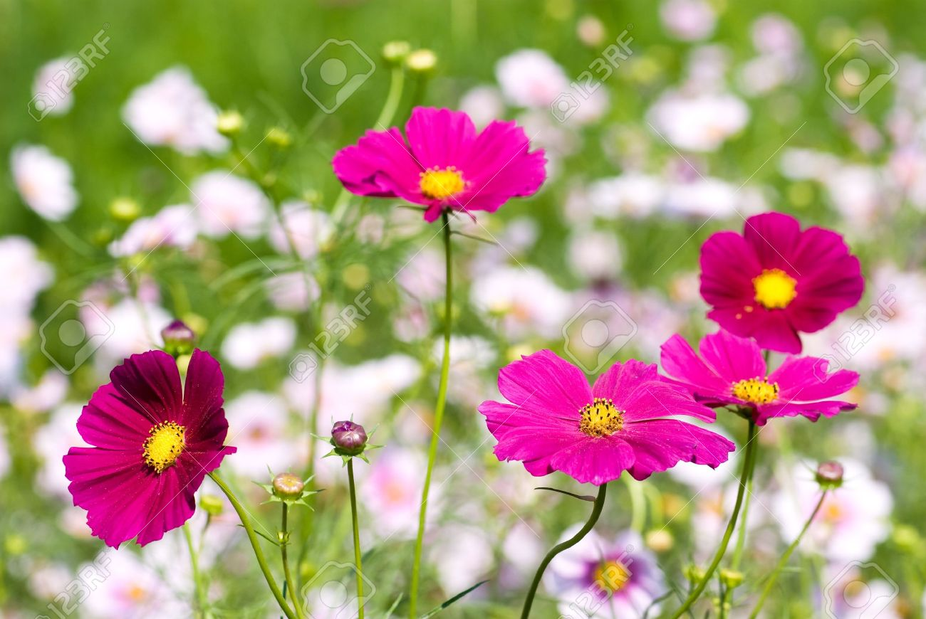 Pink color of cosmos flower fields stock photo picture and royalty pink color of cosmos flower fields stock photo 9023057 mightylinksfo Image collections