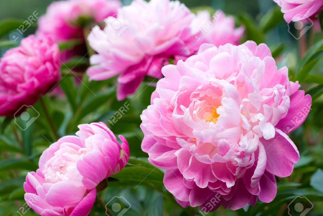 Close up of pink peony flower stock photo picture and royalty close up of pink peony flower stock photo 9023052 dhlflorist Images