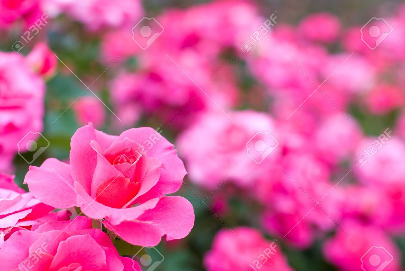 Flower field of pink rose Stock Photo - 9023029