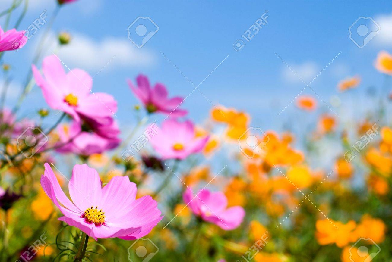 Two colors cosmos field and sky Stock Photo - 9023402