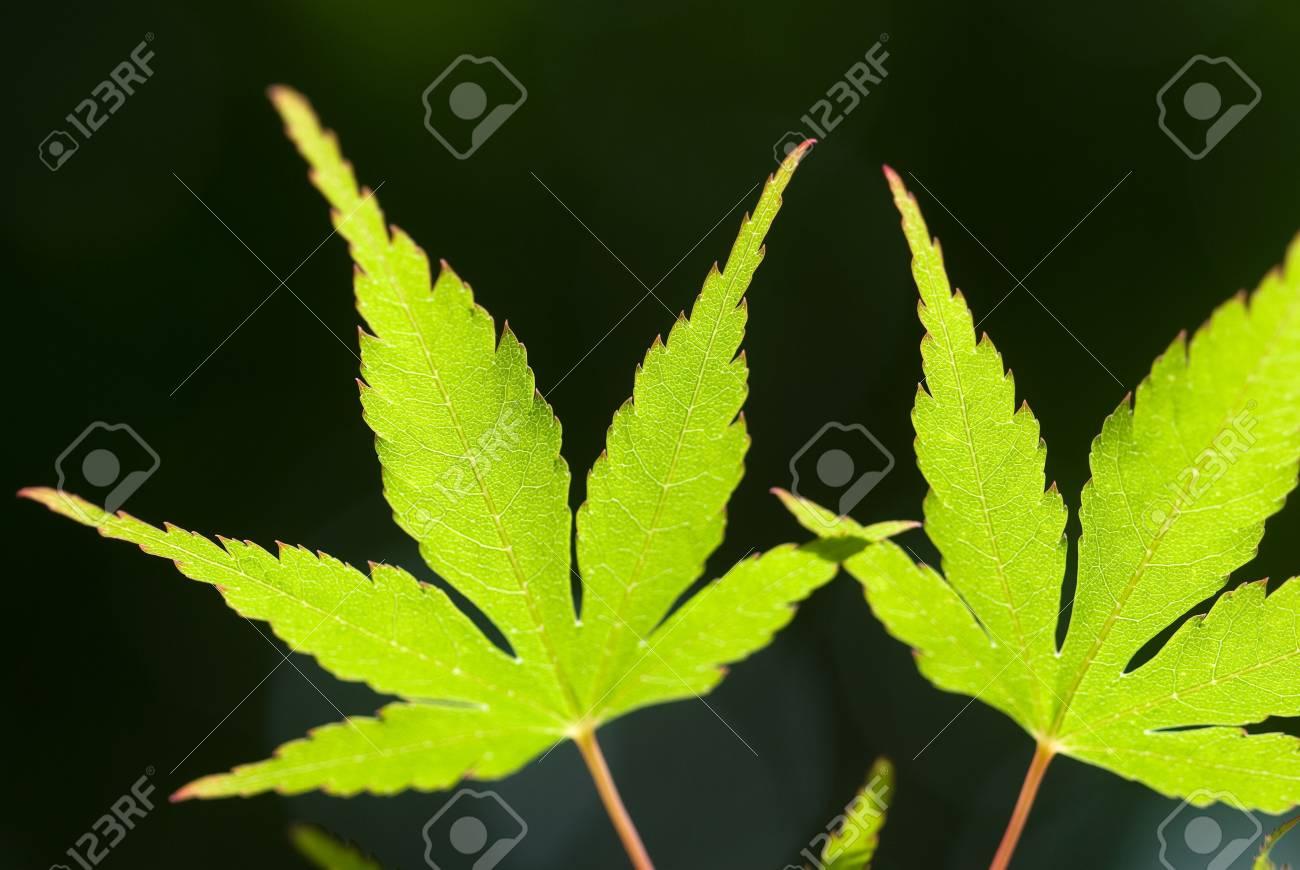 Sunlight shining through the fresh green Japanese maple leaves Stock Photo - 9023544