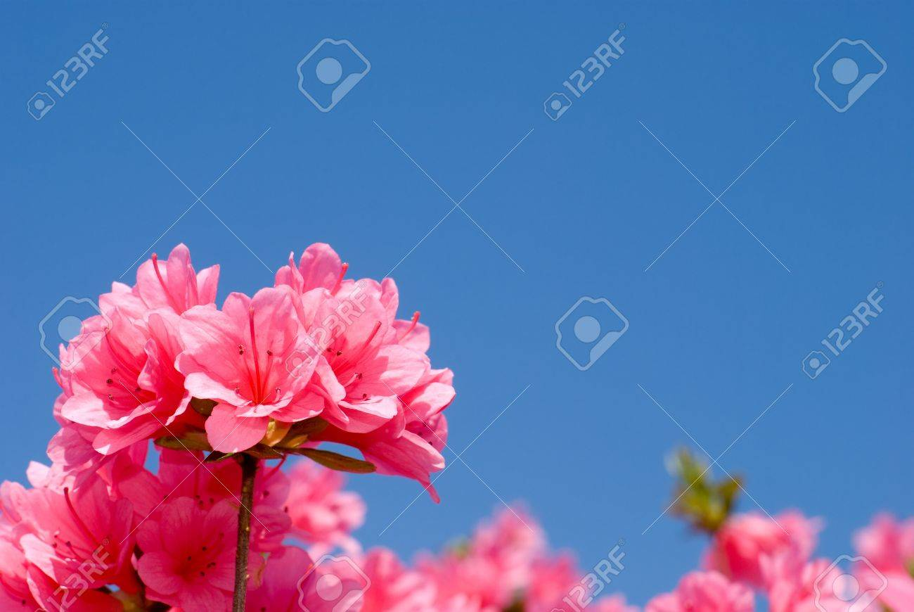 Close Up Of Bright Pink Azalea Flower And Blue Sky Stock Photo